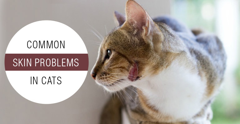 Common Skin Problems in Cats