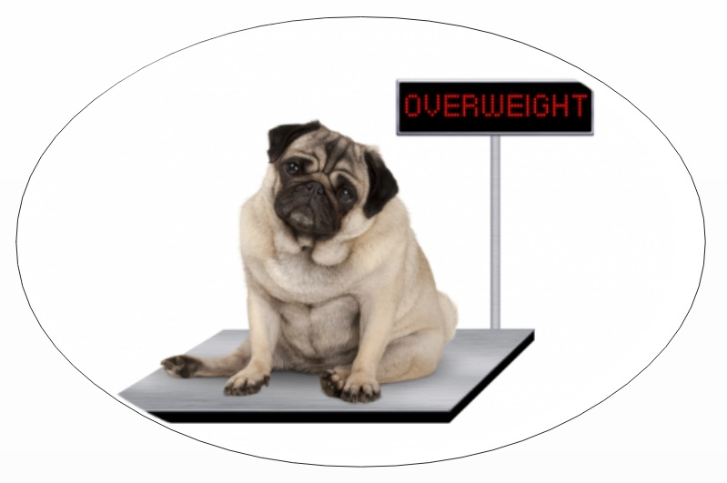 Pet parents mistake: obesity in dog