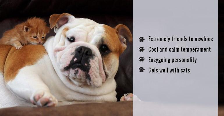 cat-friendly Bulldog