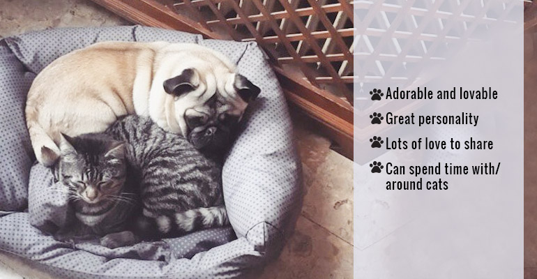 cat-friendly Pug